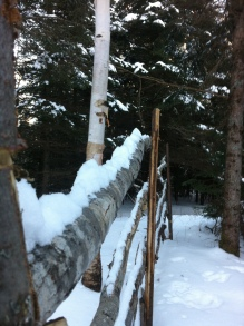 birch fence in snow